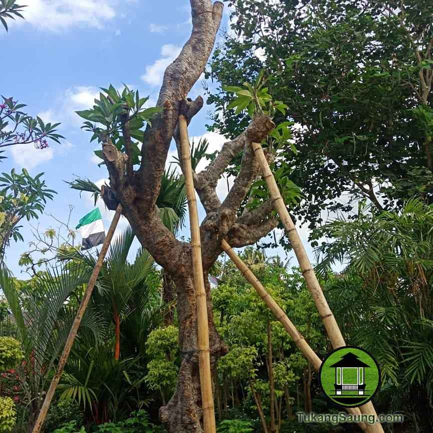 Jual Pohon Kamboja Fosil