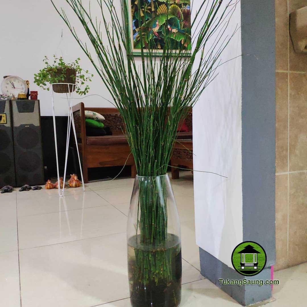Jual Pohon Bambu Air Harga Tanaman Hias Bambu Air Murah