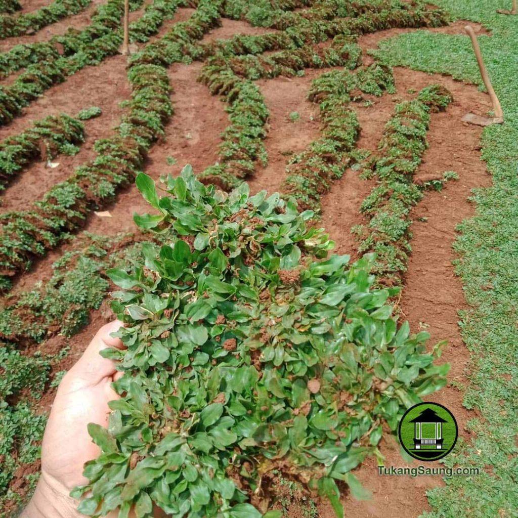 Harga Rumput Gajaha Mini